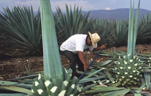 agave mezcal-oaxaca-mexico